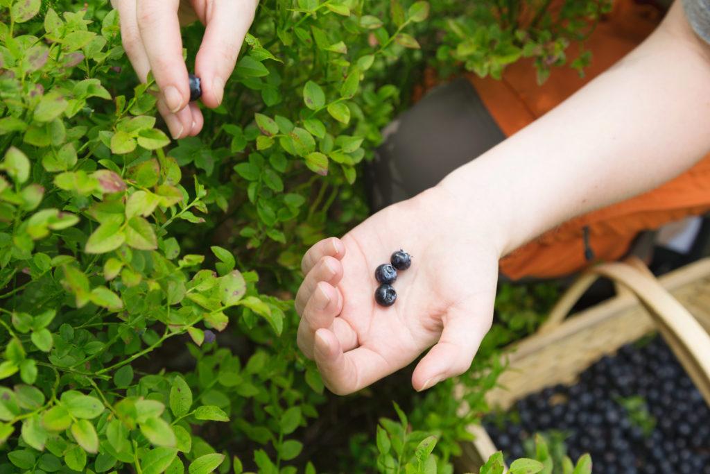Bilde: En hånd holder frem tre blåbær, den andre hånden har akkurat plukket et fjerde blåbær. I Hjørnet på bildet er en kurv full av blåbær.